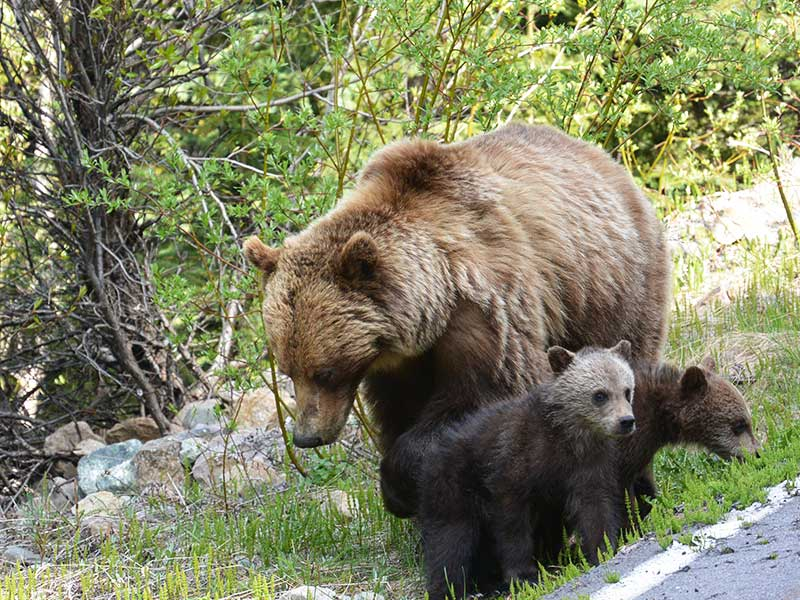 Complete Canadian Rockies by Rail | Bears on the Discover Jasper & its Wildlife Tour