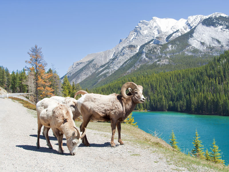 Peaks & Glaciers of the Canadian Rockies by Rail | Bighorn Sheep - Banff National Park