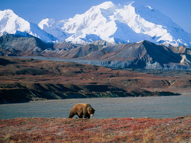 Alaska Cruise with Canadian Rockies Train Tour | Denali National Park with Grizzly Bear